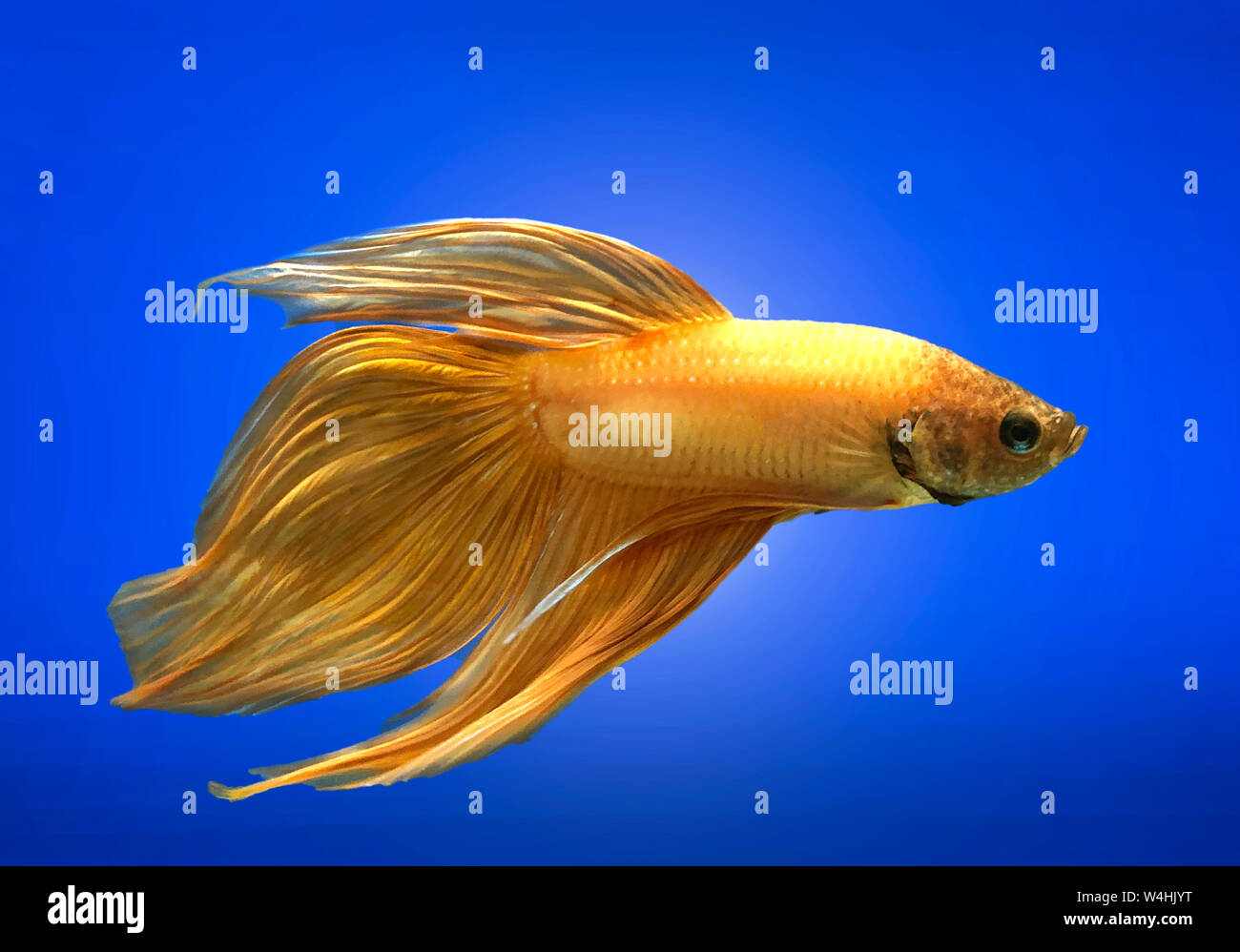 Golden Siamese fighting fish isolated on blue background. Stock Photo