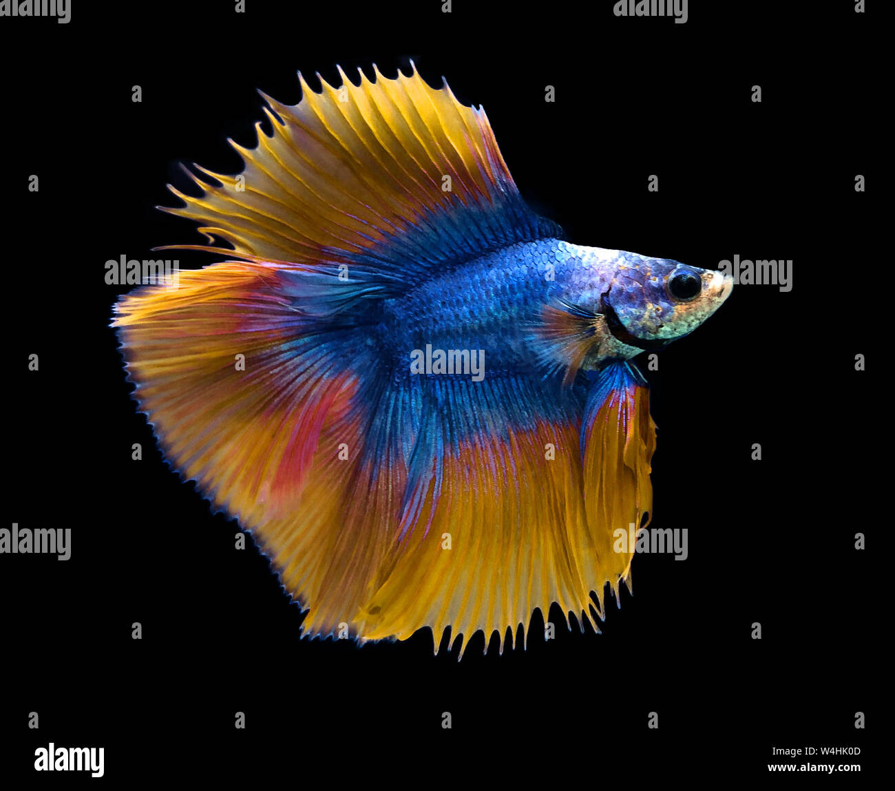 Blue and yellow Siamese fighting fish isolated on blue background. Stock Photo