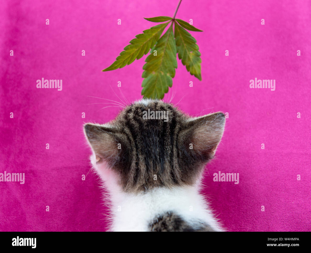 Small cat smelling a cannabis leaf on pink background, marijuana for pets concept Stock Photo