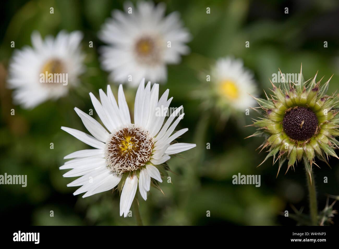 Südafrikanische Prachtdistel (Berkheya cirsiifolia) im Botanischen Garten Stock Photo