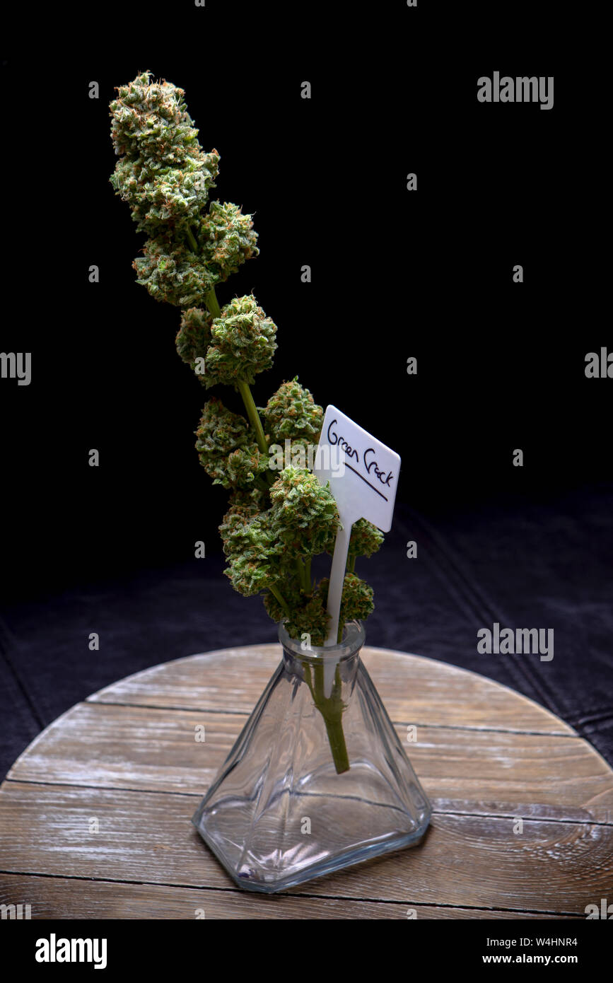 Detail of cannabis flower (green crack marijuana strain) on a vase isolated over black background Stock Photo