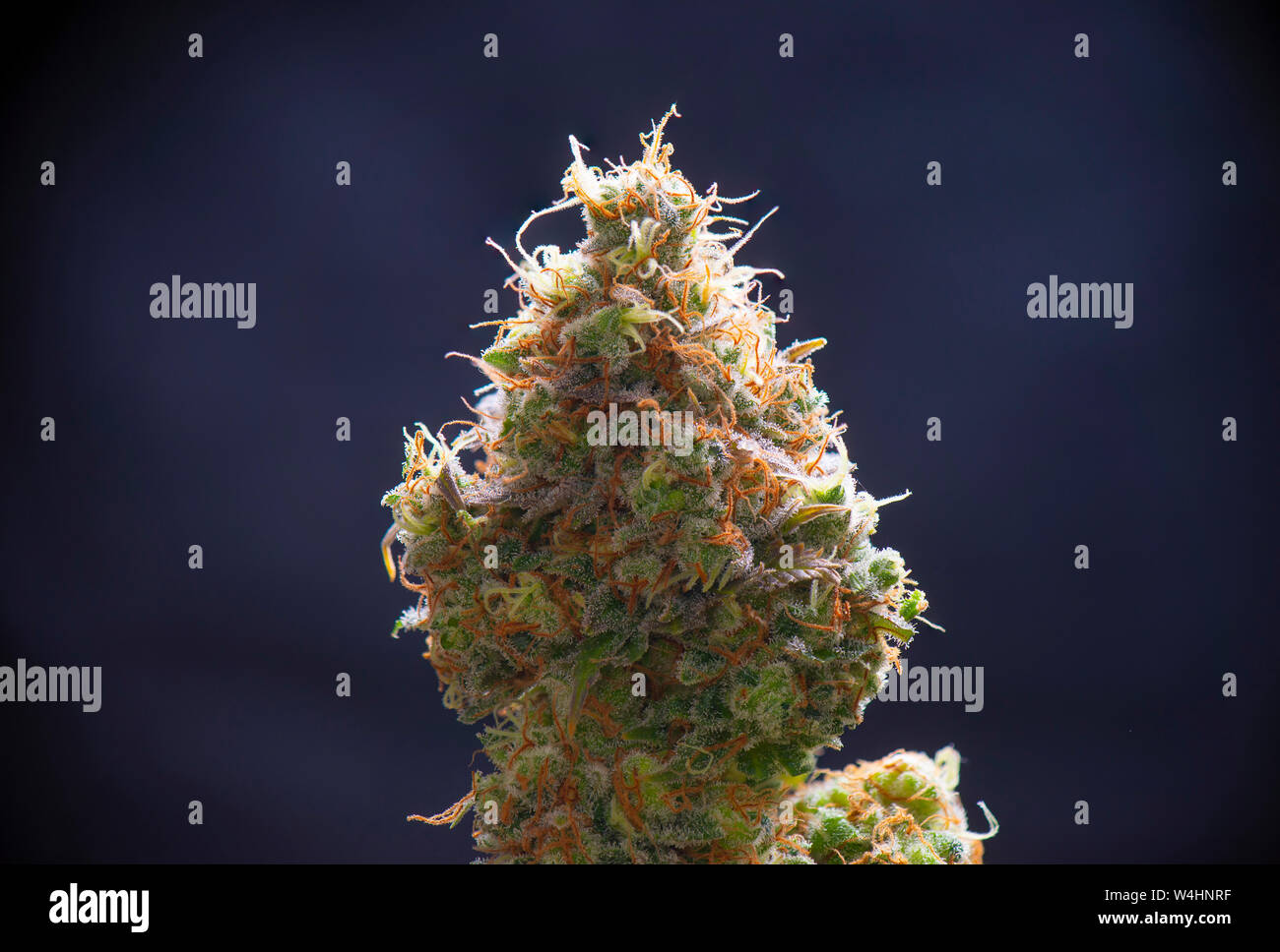 Macro detail of Cannabis flower (sour diesel strain) isolated over black background, medical marijuana concept Stock Photo