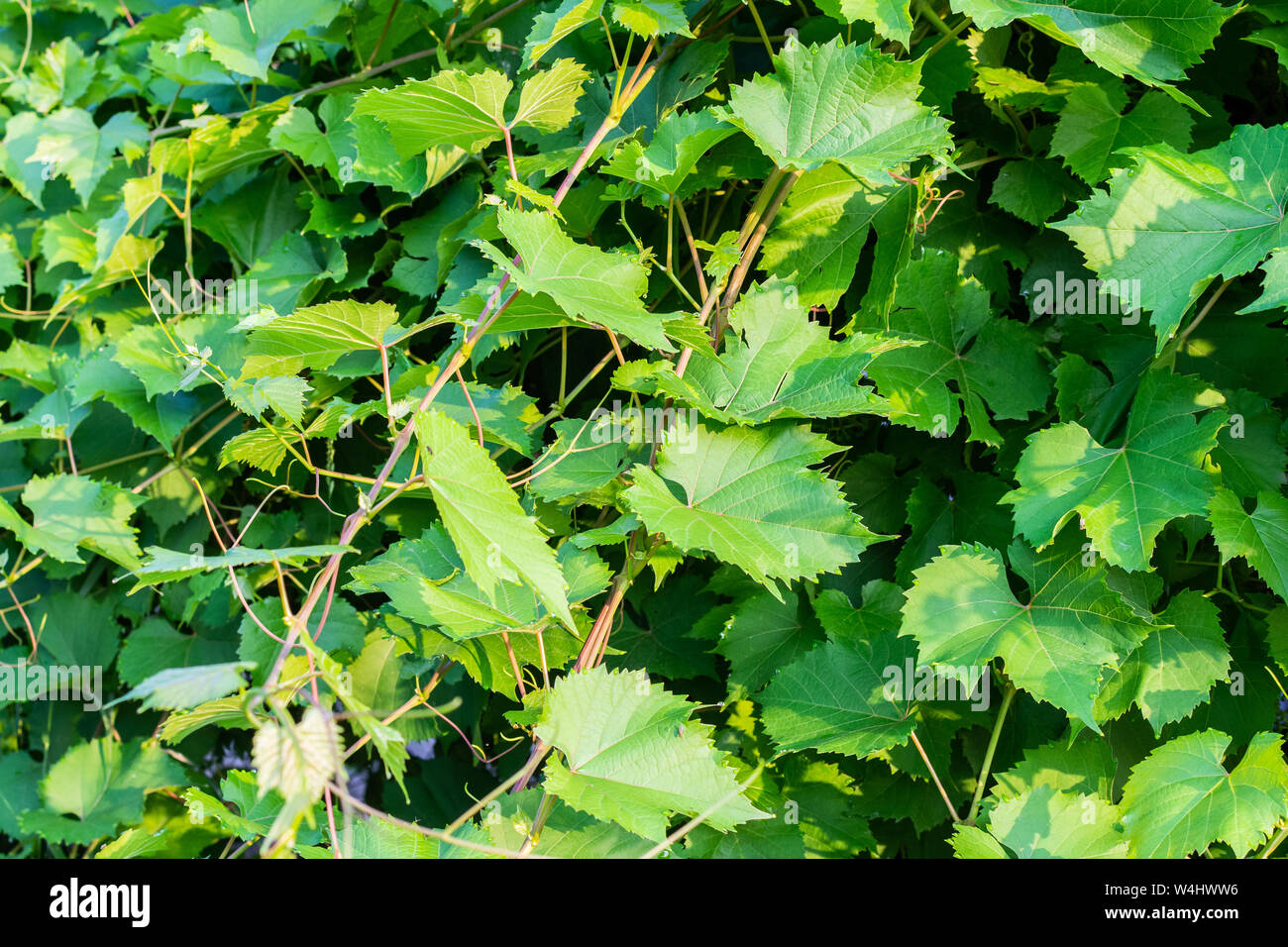 Green Leaves Of Blue Grapes Grape Foliage Leaf Background Stock Photo Alamy