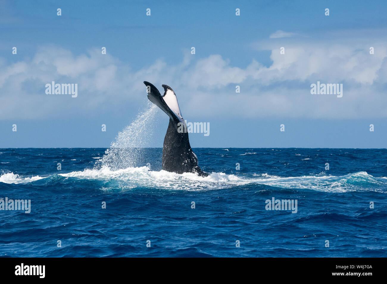 humpback whale adult female, Megaptera novaeangliae, lobtailing, Vava'u, Kingdom of Tonga, South Pacific Ocean Stock Photo