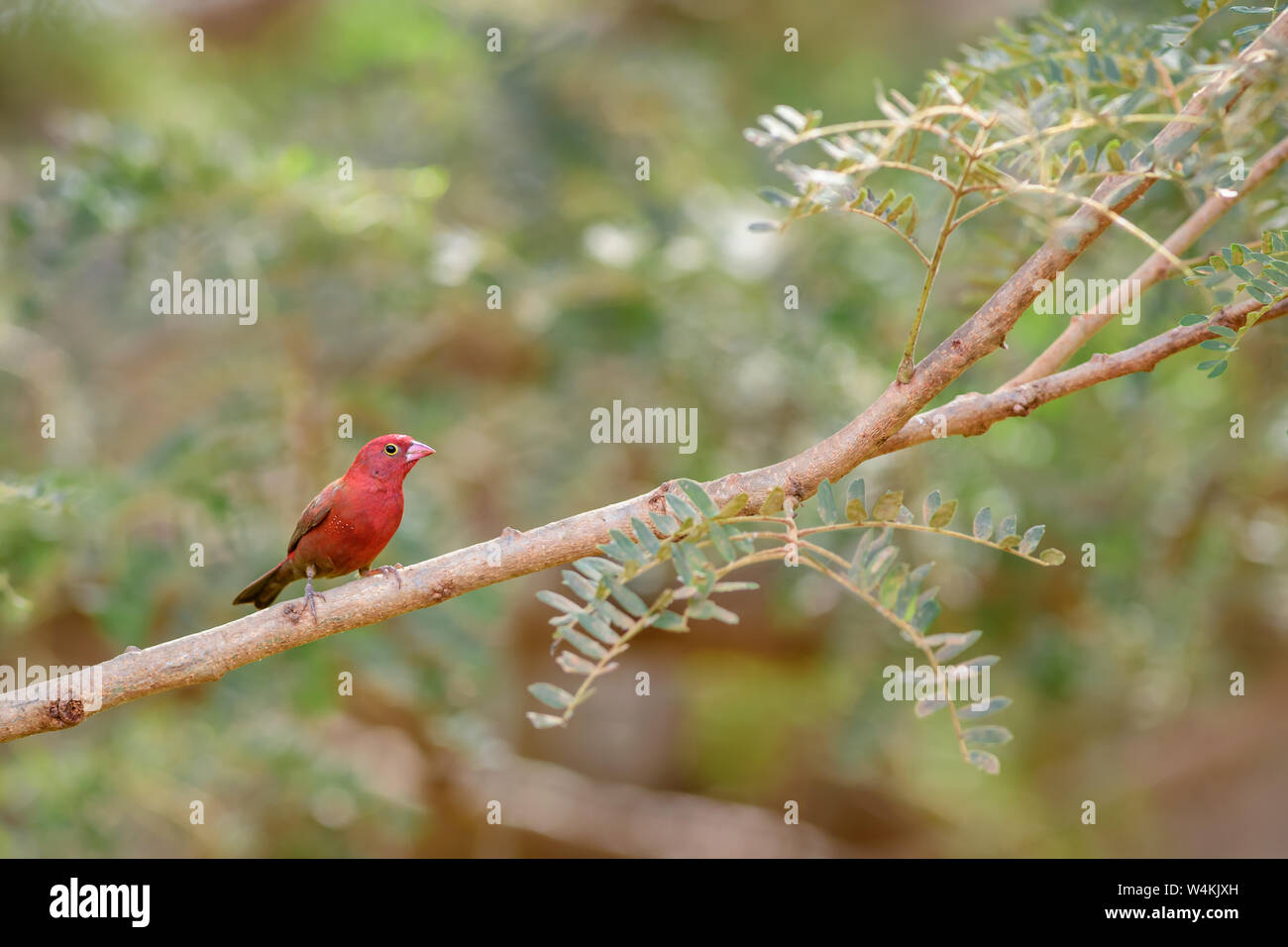 Red-billed Firefinch - Lagonosticta senegala, beautiful small red perching bird from African bushes and gardens, Senegal. Stock Photo