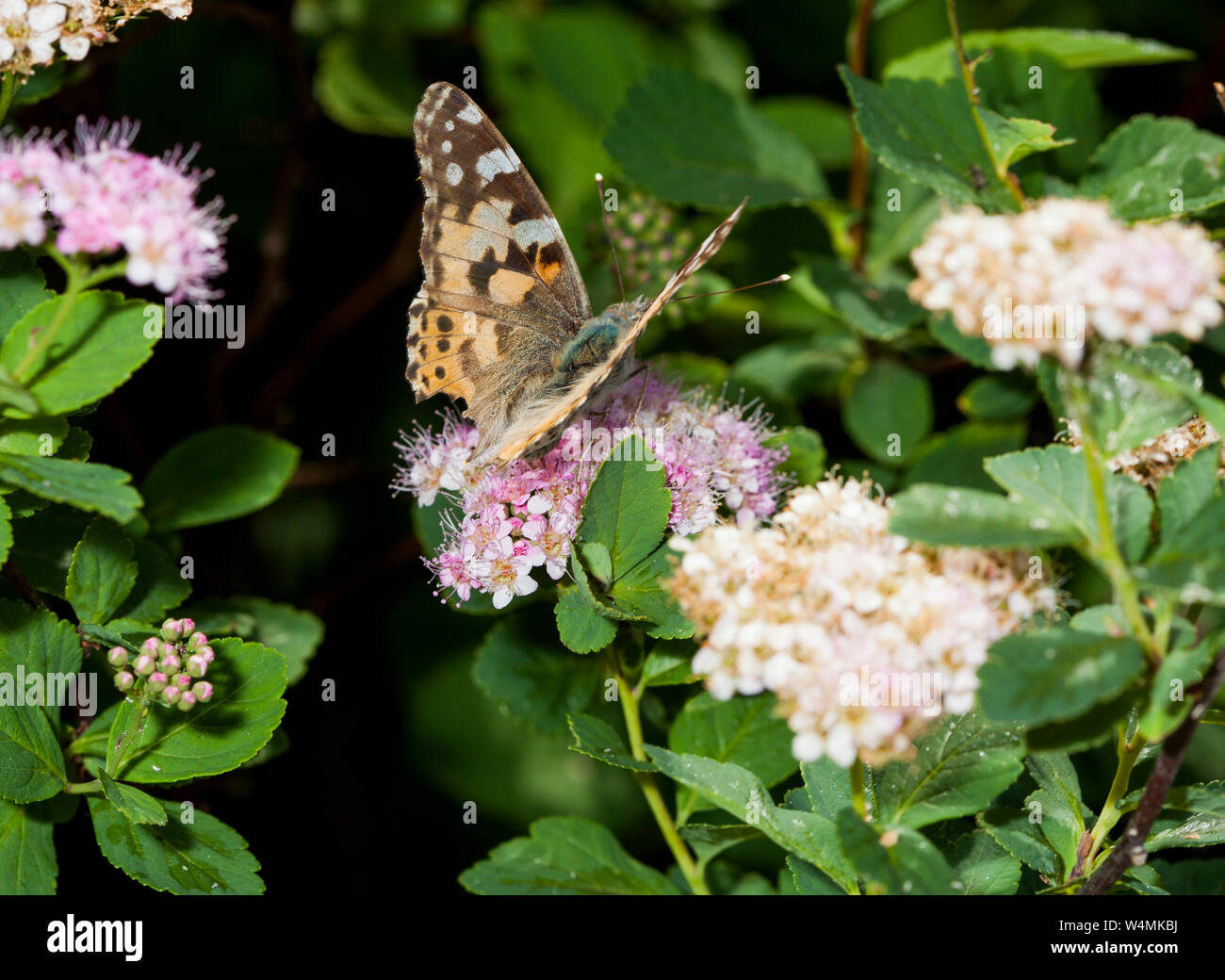 VANESSA CARDUI Cynthia cardui  on flower one of most widespread,elderly with bleached colors and chopped wing edge Stock Photo