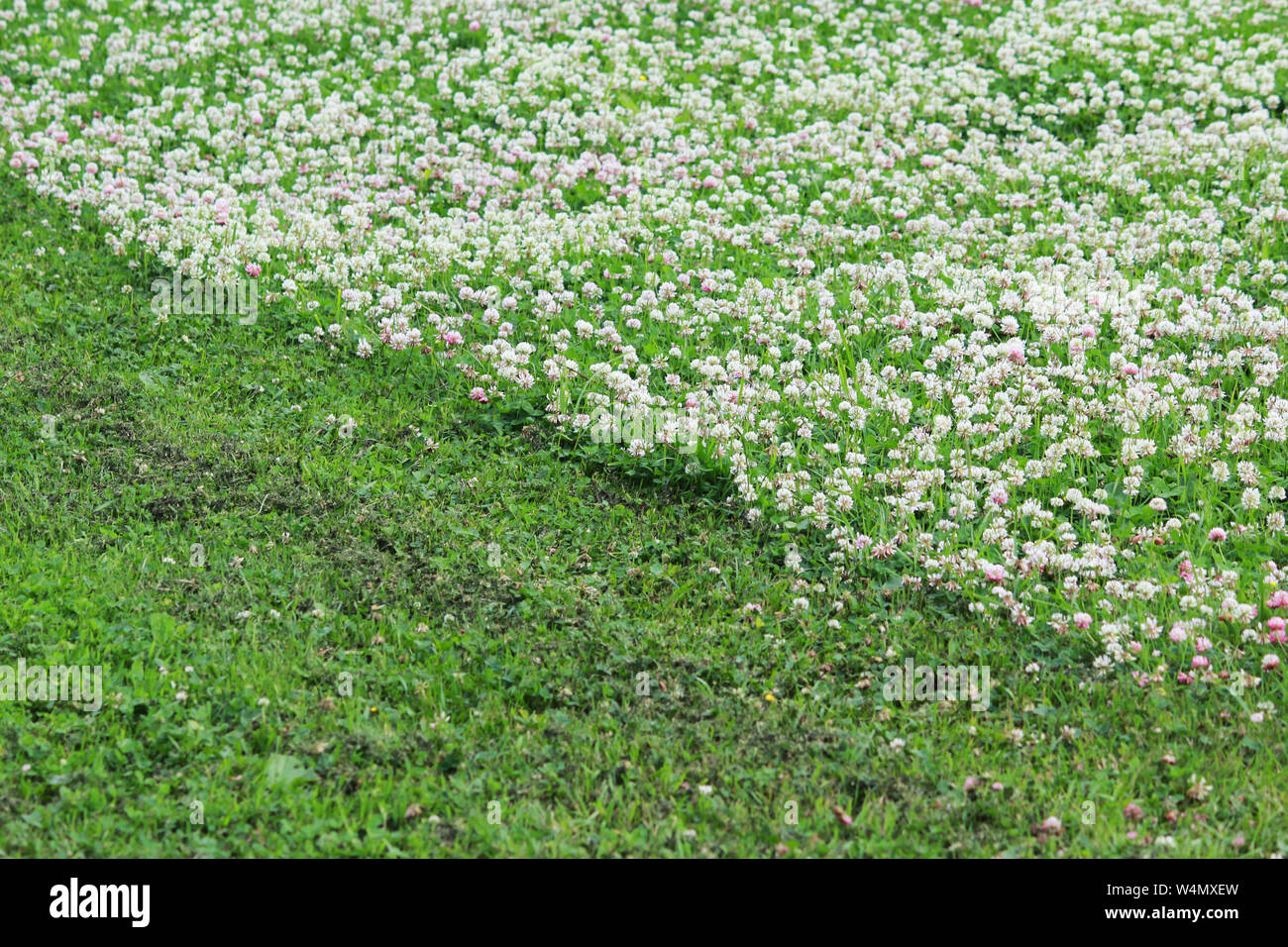 Trifolium repens and Trifolium pratense. A lawn densely overgrown with clover. grass shearing lawn mowers Stock Photo