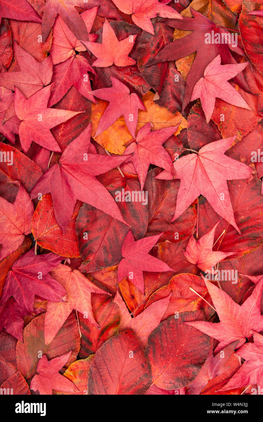 Close up of the red fallen Autumn / Fall leaves of an Acer Japonica. Stock Photo