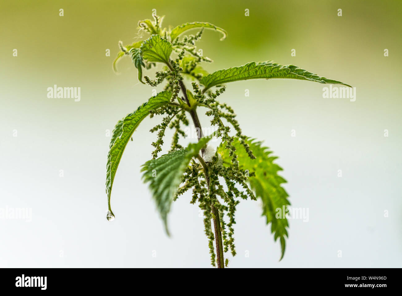 Close up of a stiging nettle (Urtica dioica) with shallow depth of field and a rain drop hanging from a leaf Stock Photo