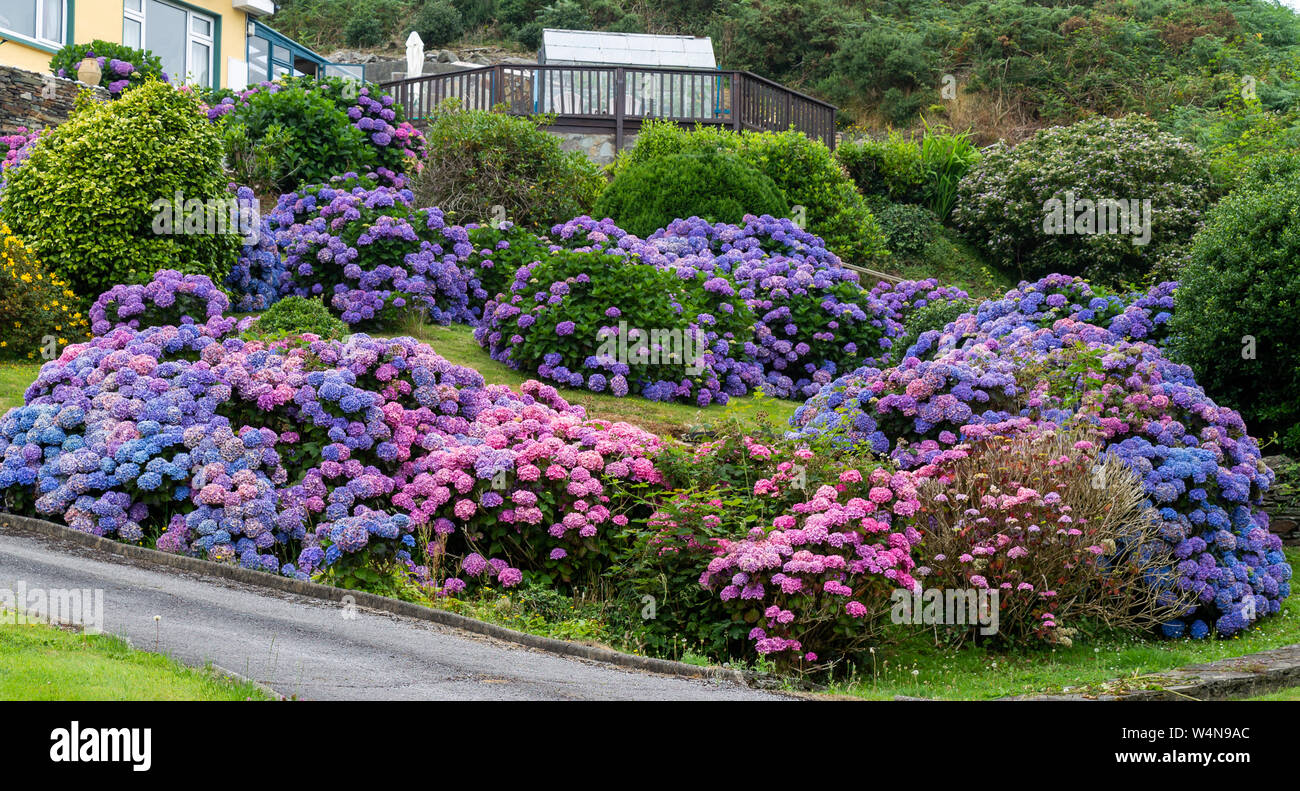 Blue And Pink Hydrangea Bushes In Full Flower In A Garden Stock