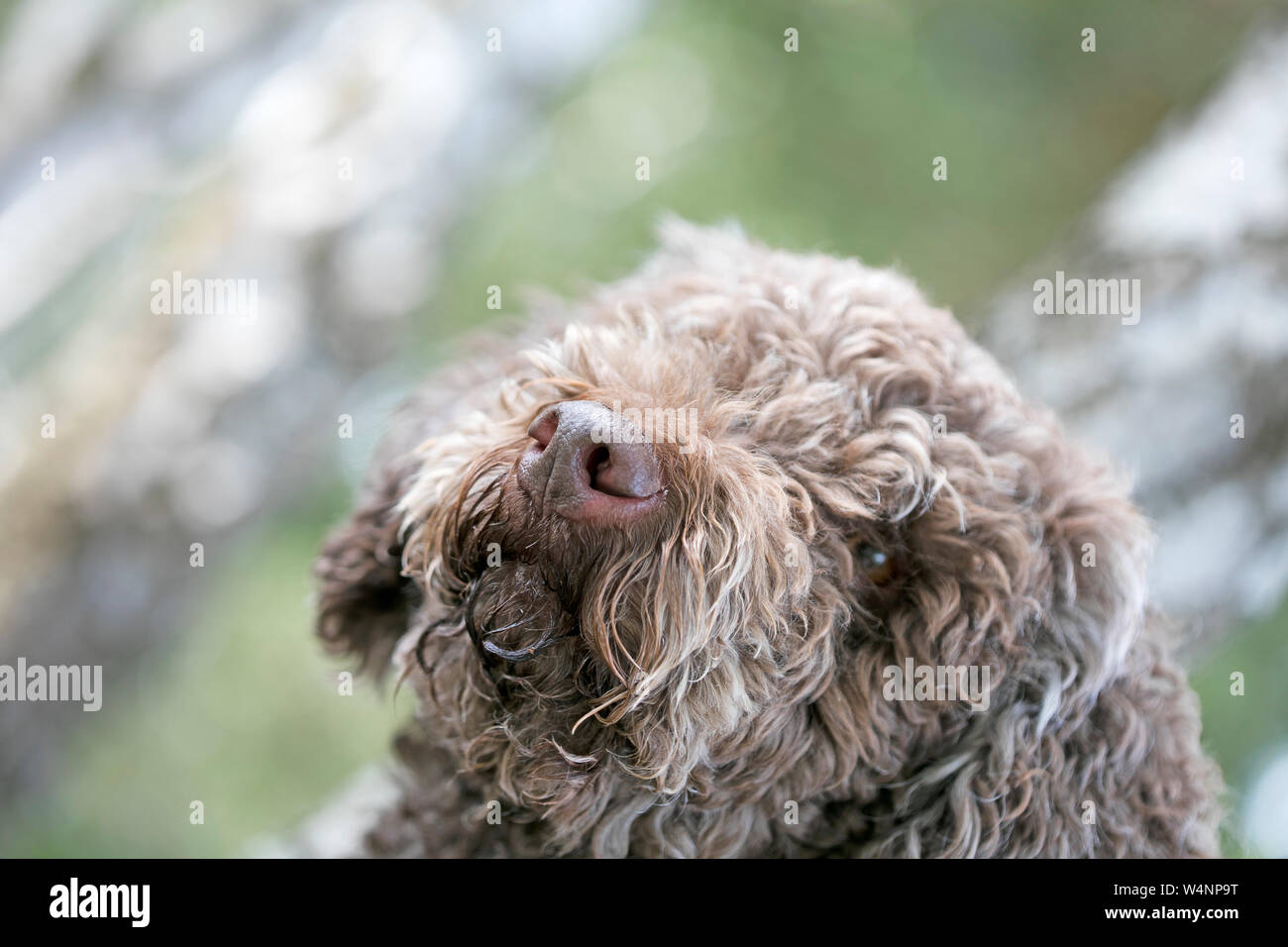 Truffle dog portrait in wild forest macro background fine art high quality prints products fifty megapixels lagotto romagnolo Stock Photo