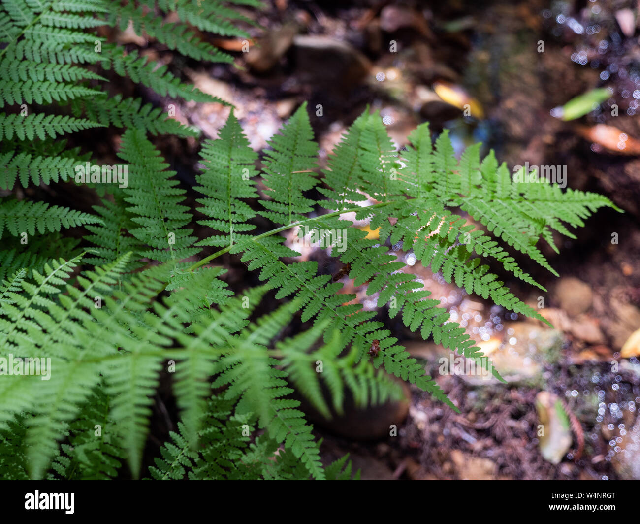 Green ferns in sunlight growing next to stream Stock Photo