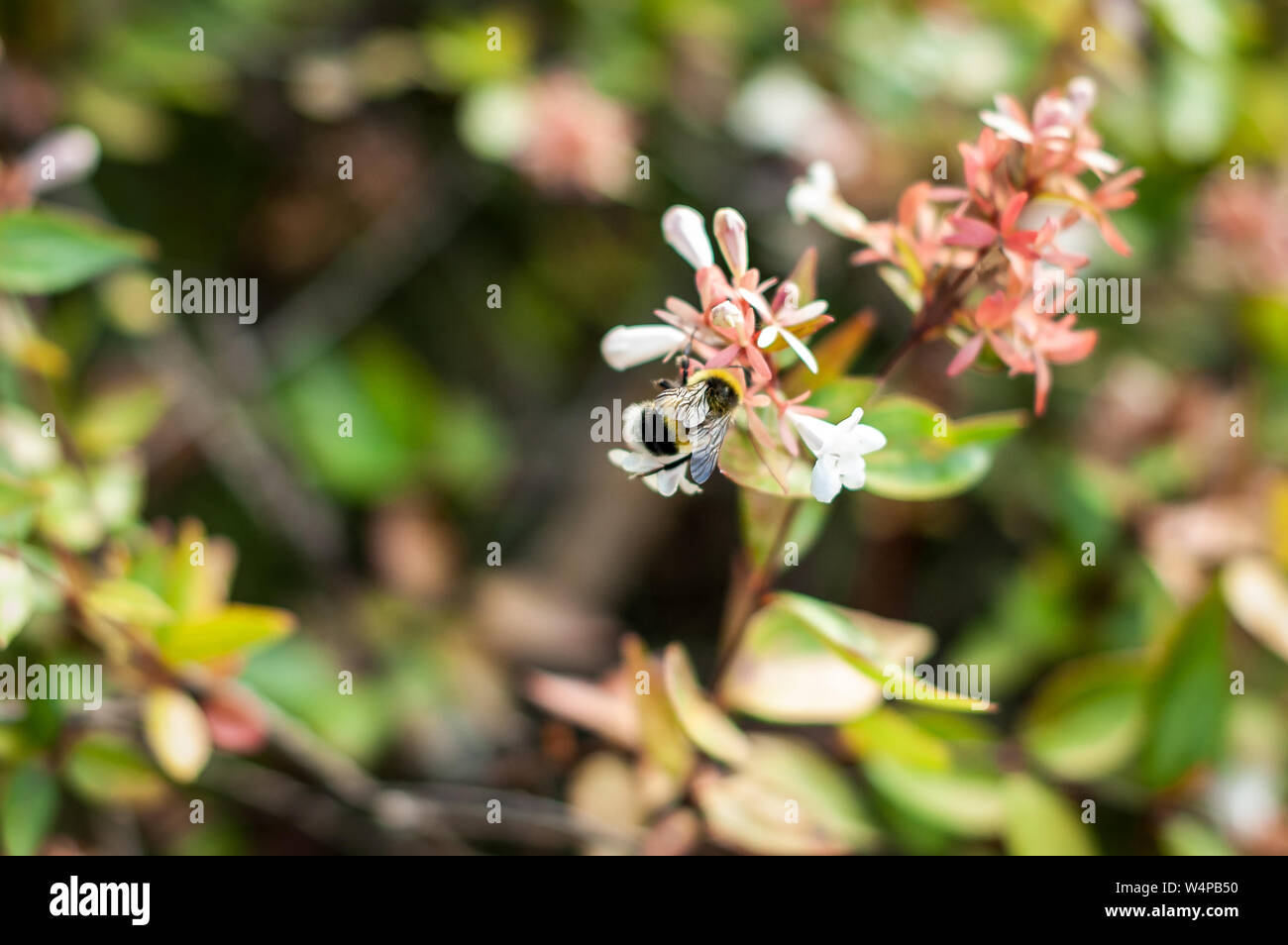 Honey bee pollinating flower or collecting pollen on blooming bush in italian park. Soft focus and blurred floral background. Close-up. Stock Photo