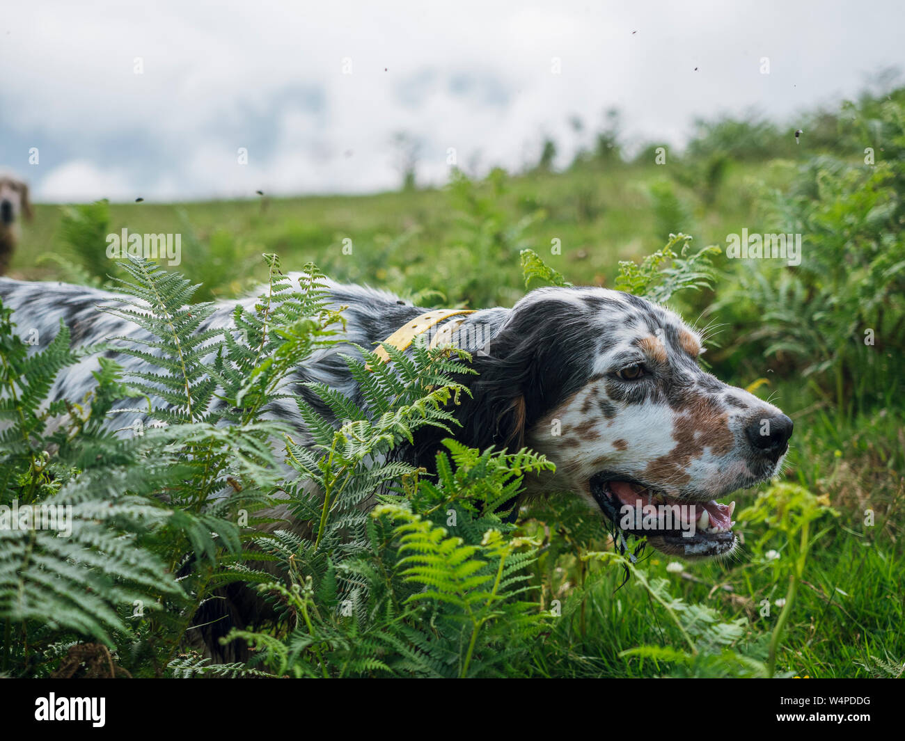 English setter hunting Stock Photo
