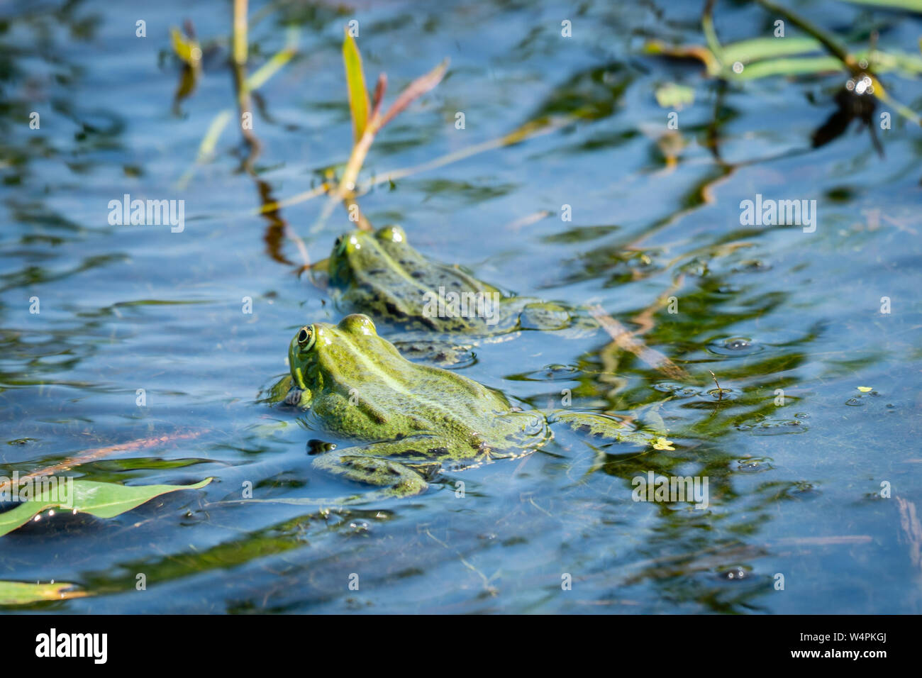 Two green frogs swimming in the water of a little lake, between the water plants. The larger male is following the female during mating time. Seen fro Stock Photo - Alamy