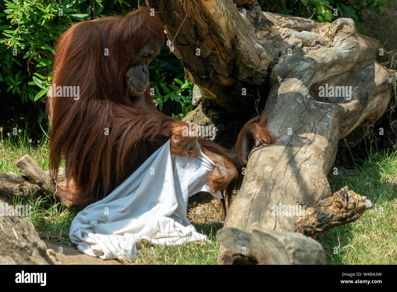 Zooo monkey orang utan ape playing ghost with bed sheets Stock Photo
