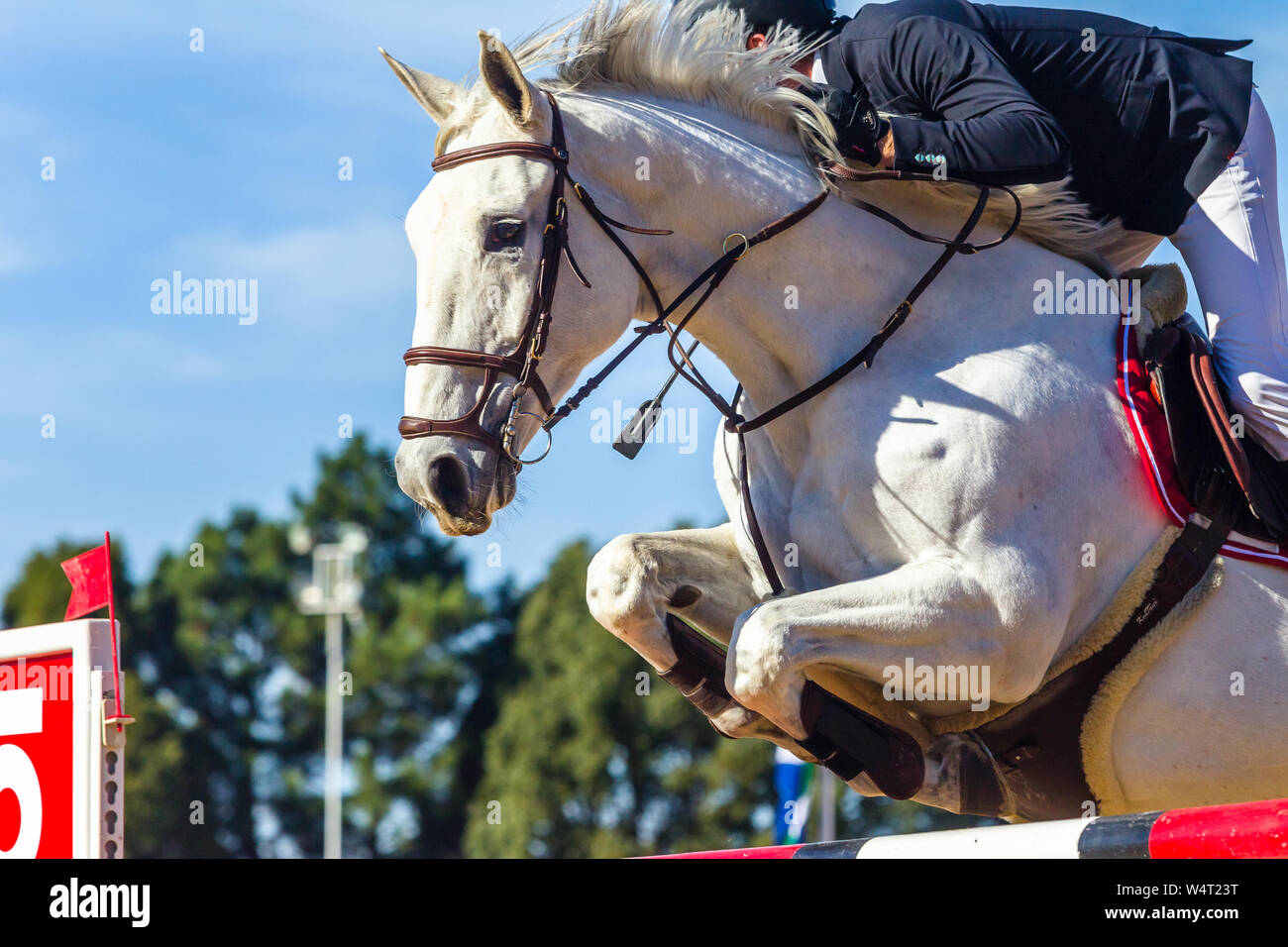 Equestrian Show Jumping Gray White Horse Unrecognizable Rider Closeup Jumping Action Over Gate Poles With Blue Sky Stock Photo Alamy