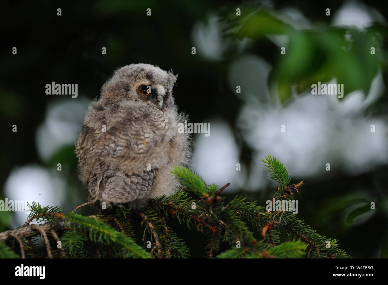 Long-eared Owl / Waldohreule ( Asio otus ), moulting young chick, just fledged, perched in a tree, watching back over its shoulder, looks serious, Eur Stock Photo