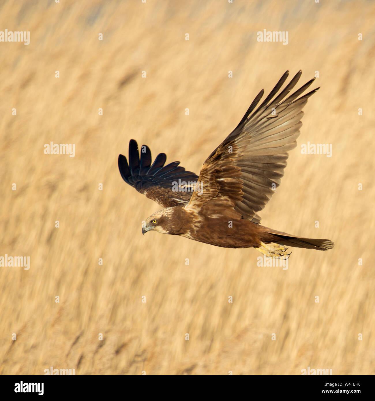Western Marsh Harrier / Rohrweihe ( Circus aeruginosus ) in flight, searching for prey, flying over golden reed, Netherlands, Europe. Stock Photo