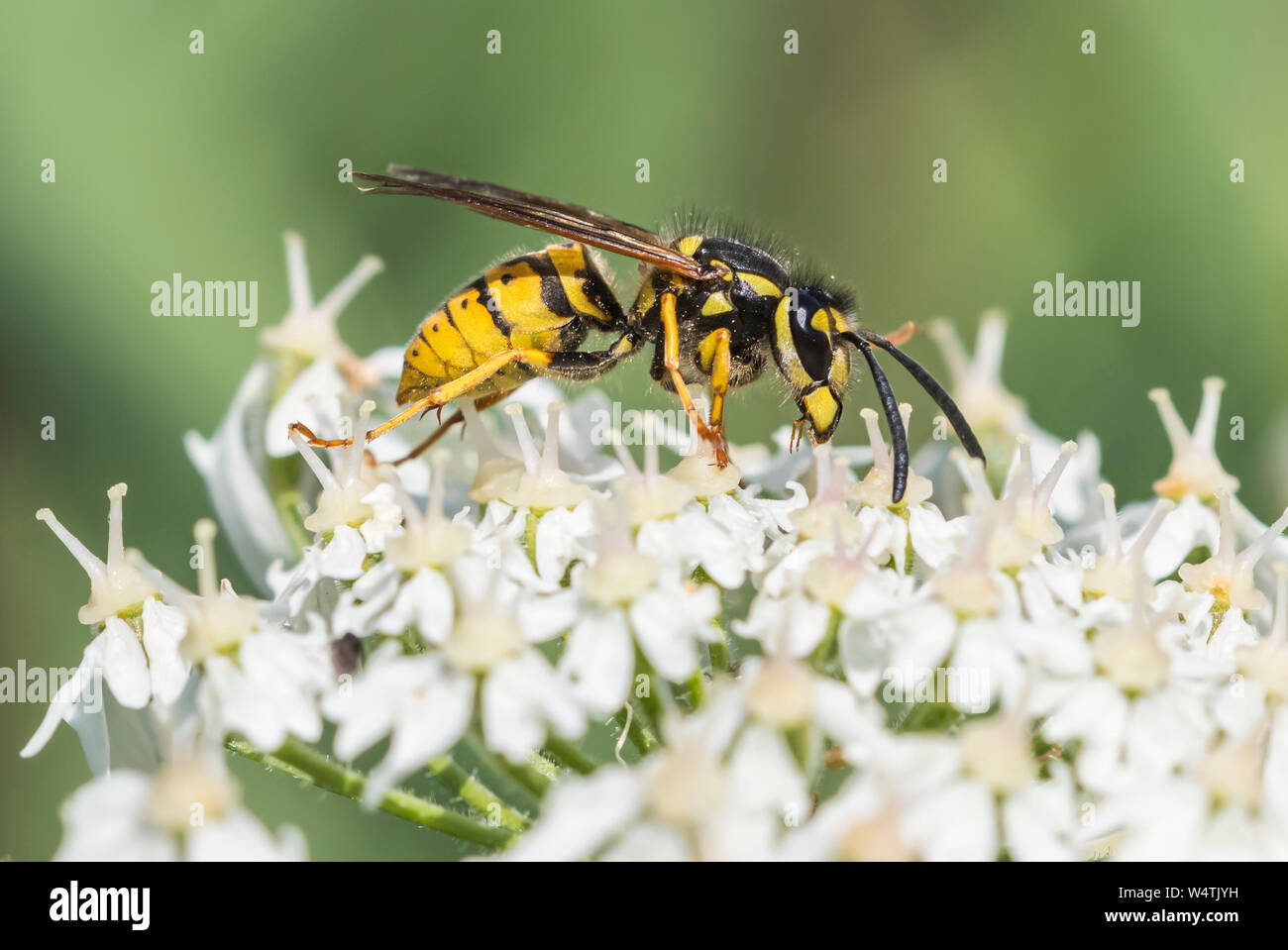 Vespula Vulgaris (Common Wasp, European Wasp, Common yellow jacket wasp) in Summer in West Sussex, England, UK. Stock Photo