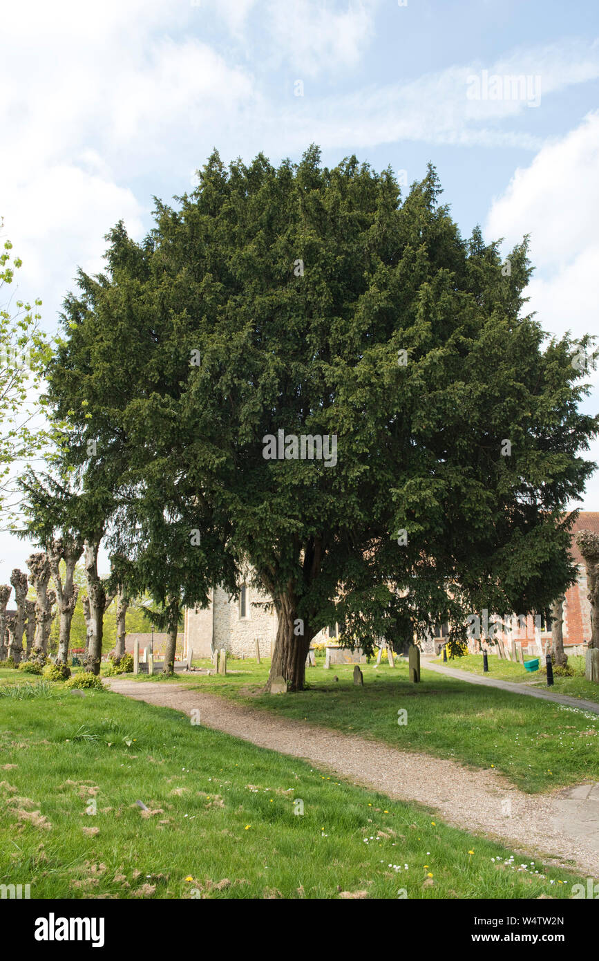 A mature English yew tree (Taxus baccata) where it is traditionally planted in a churchyard, Kintbury, Berkshire, April Stock Photo