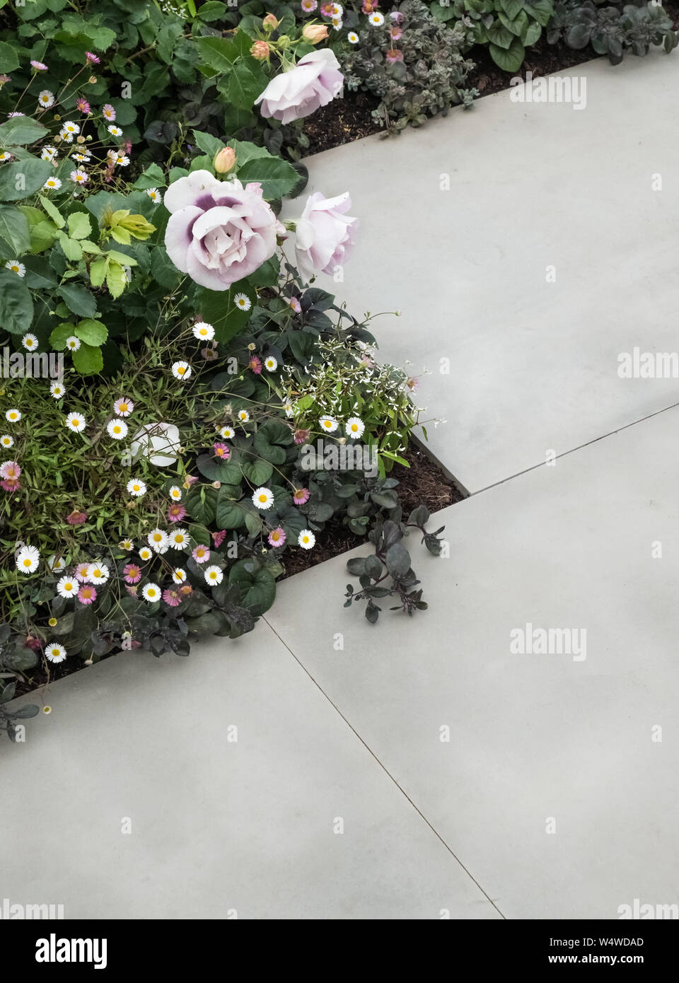 Mix of summer plants growing alongside edges of paving stone slabs, July, England, UK Stock Photo