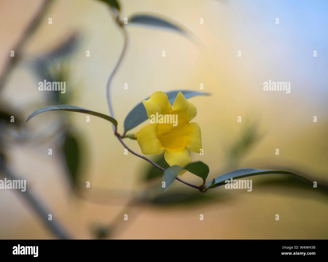 Carolina Jessamine flowering vine in North Florida. Stock Photo