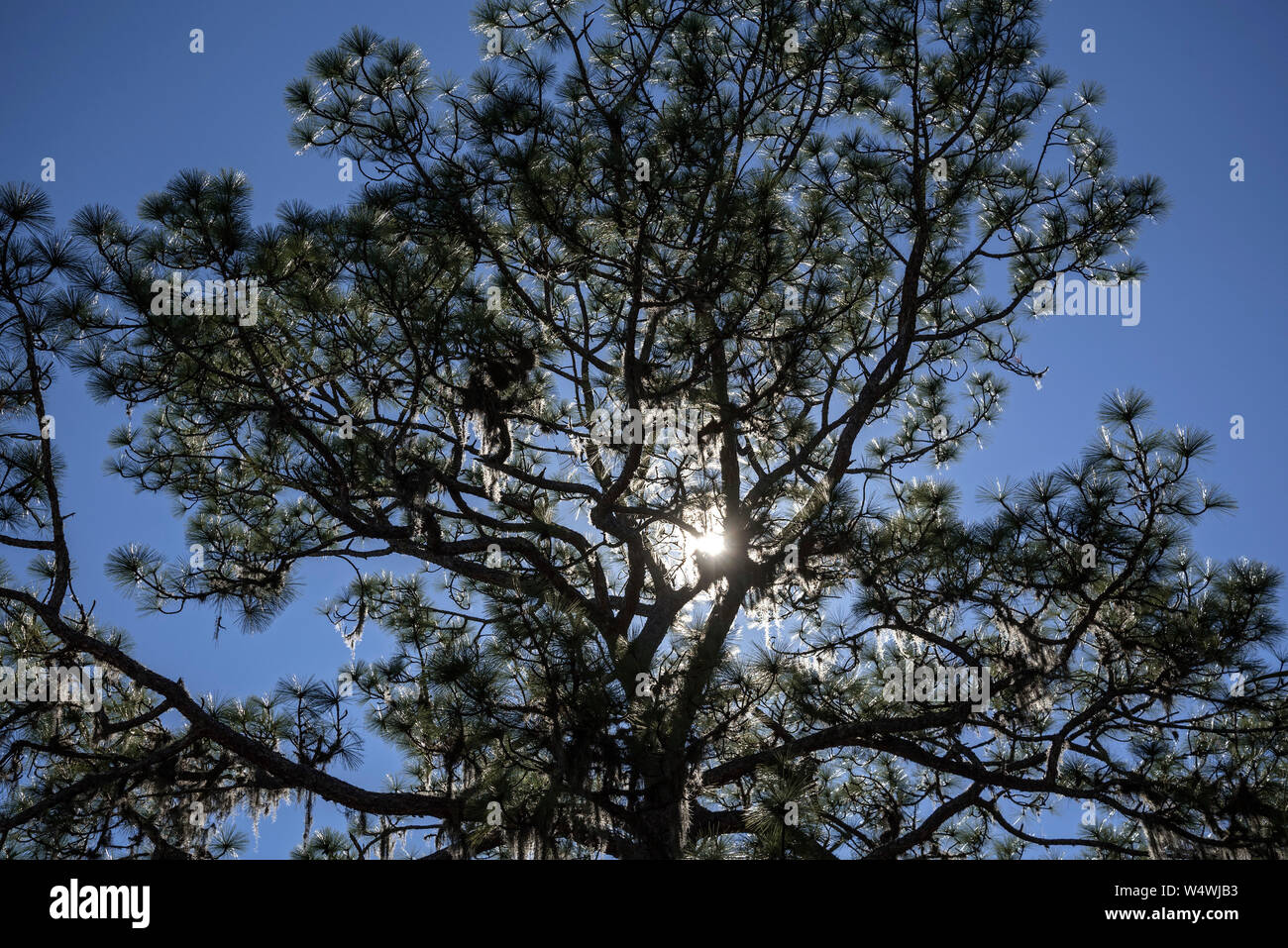 Late afternoon sun shining through a pine tree. Stock Photo