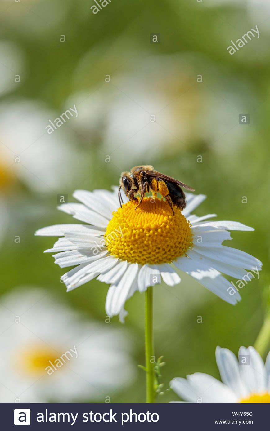 Bee pollinating OX-Eye Daisy Chrysanthemum leucanthemum Leucanthemum vulgare oxeye daisy dog daisy Stock Photo