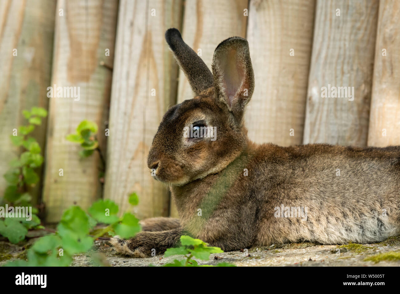 A brown cute dwarf rabbit resting in the grass near a wooden fence Stock Photo