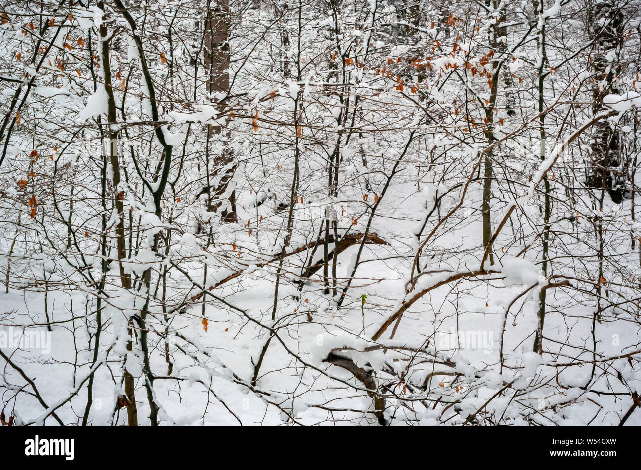 Winter Scene in Cobnar Wood within Graves Park, Sheffield, with a semi-abstract shot of branches and leaves against a snow background. Stock Photo