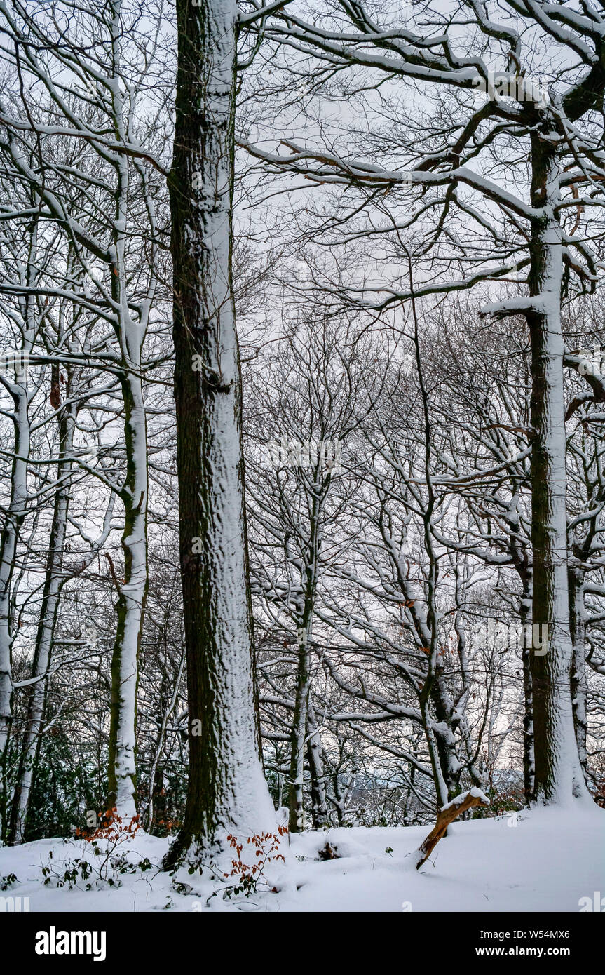 Winter Scene in Cobnar Wood within Graves Park, Sheffield, with snow highlighting the trees. Stock Photo