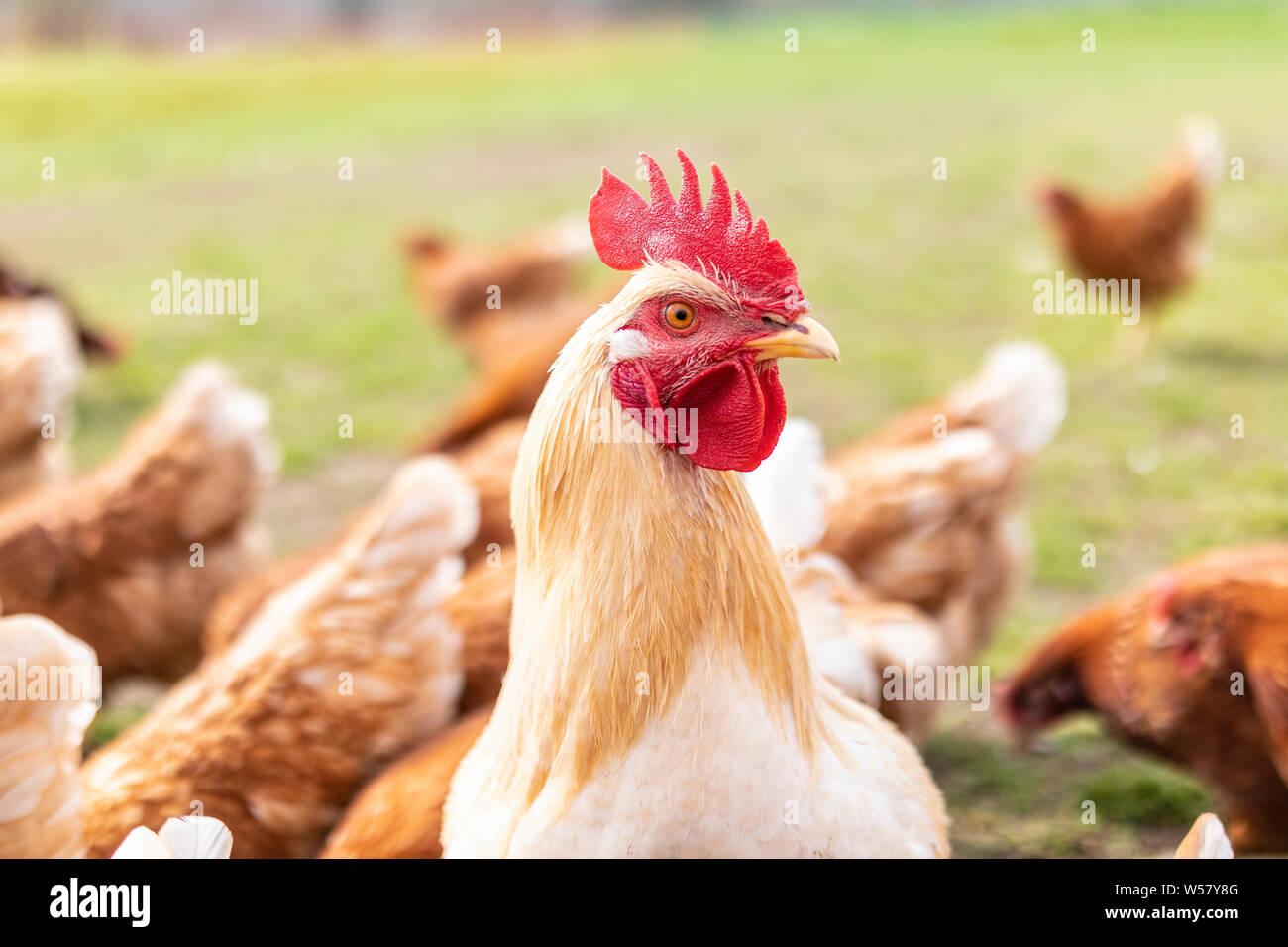 Hahn zwischen Hühnern Stock Photo