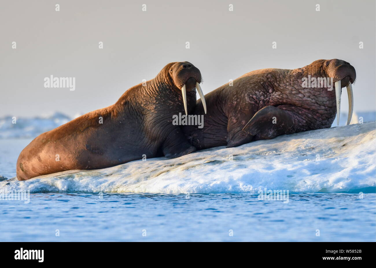 Russia. 13th July, 2019. CHUKOTKA, RUSSIA - JULY 13, 2019: Walruses on an ice flow off Wrangel Island, part of the Wrangel Island State Nature Reserve in the Arctic Sea. Yuri Smityuk/TASS Credit: ITAR-TASS News Agency/Alamy Live News Stock Photo