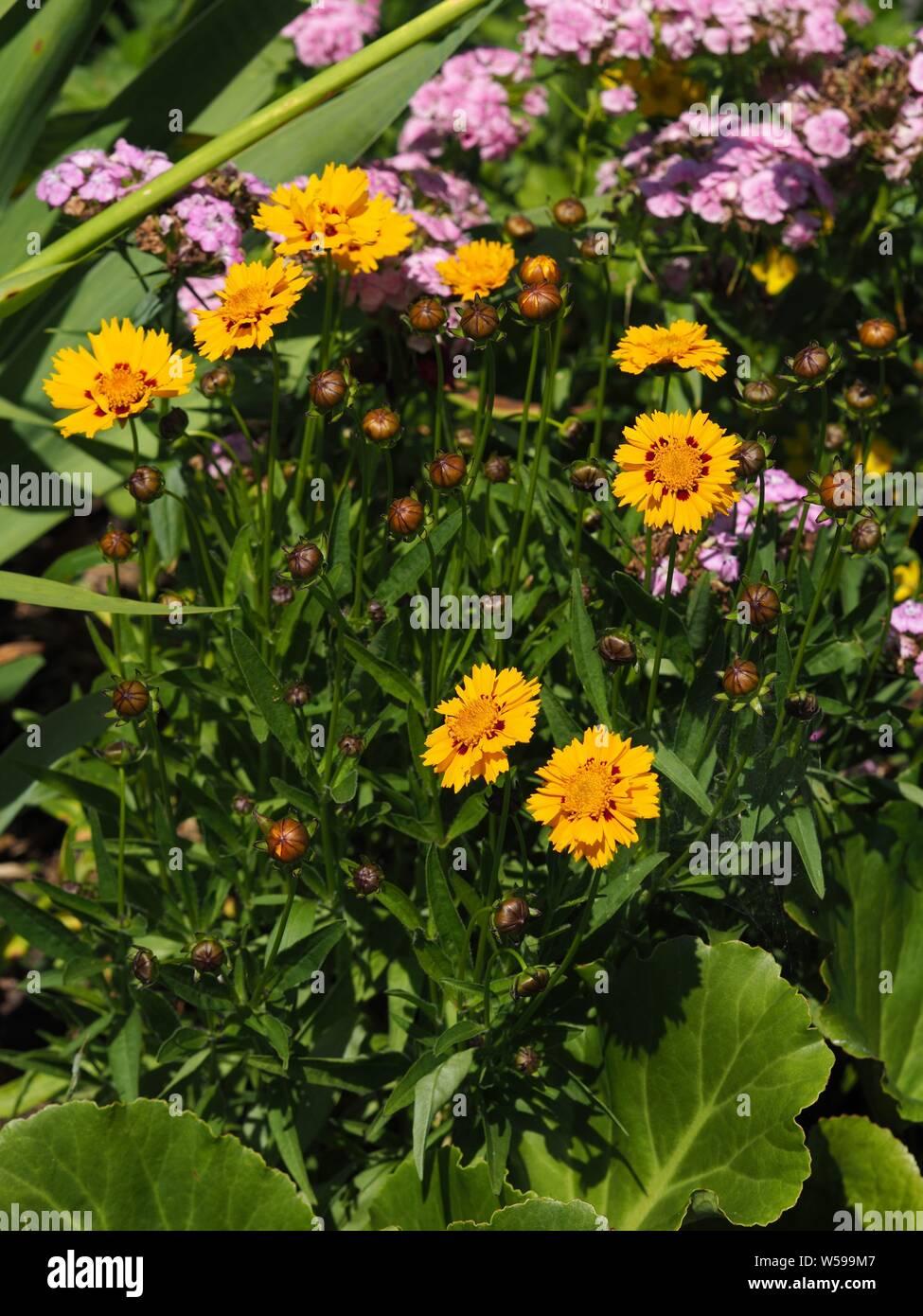 Mädchenauge schnittgold-Coreopsis grandiflora