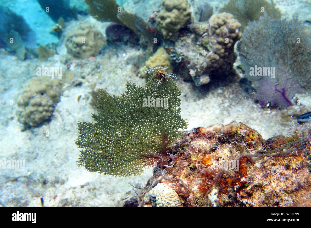Excellent example of a green Common sea fan (Gorgonia flabellum) and other coral, Little Bay, Anguilla, BWI. Stock Photo