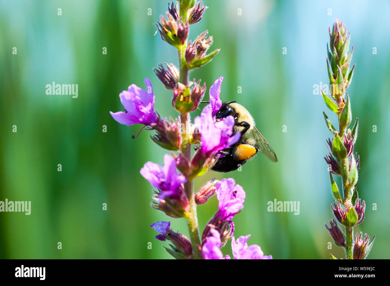 Bumblebee collecting pollen from fuchsia-colored flowers. Stock Photo