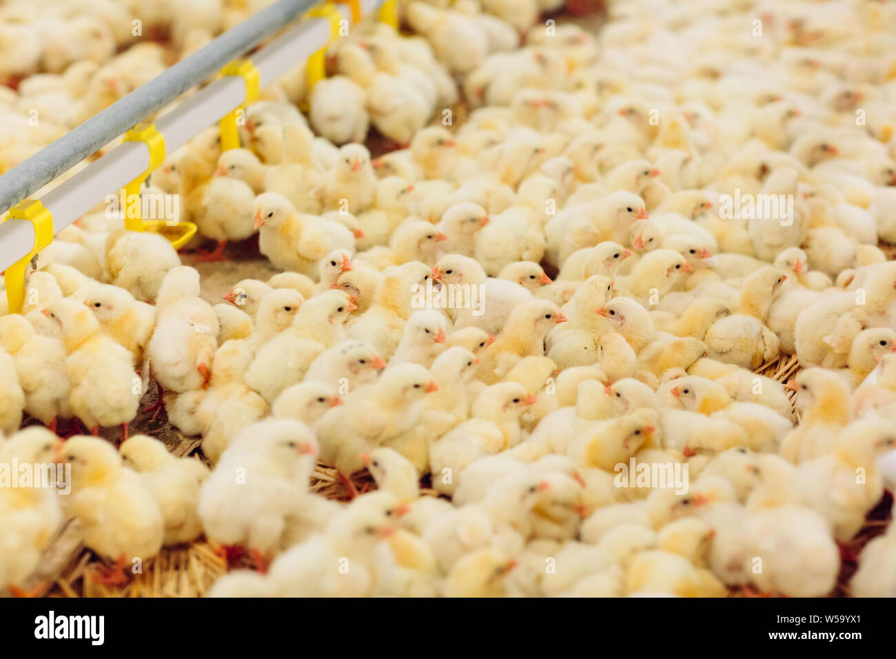 Broiler Chickens Stock Photos & Broiler Chickens Stock