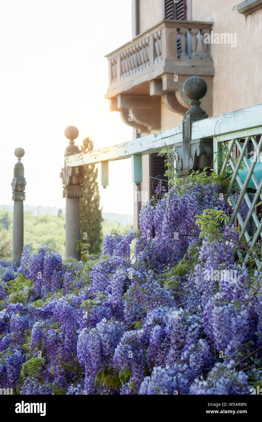 Vines of wisteria hanging off an old wood pavilion. Manneristic stile romantic balcony on background. Stock Photo