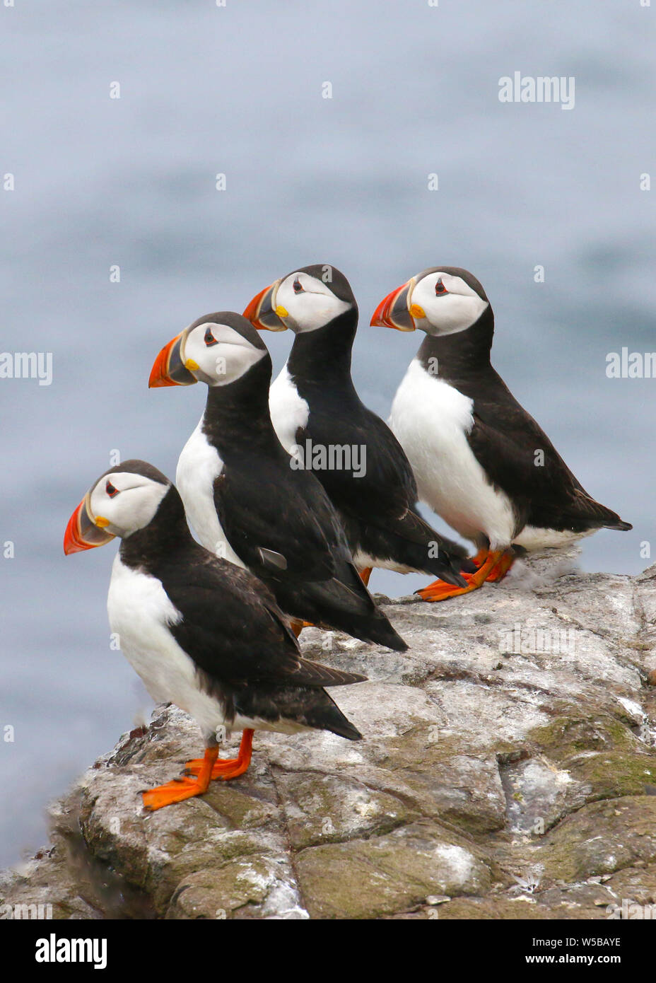 Group of 4 puffins standing in a row looking out to sea whilst standing on a rock on the Farne Islands. Stock Photo