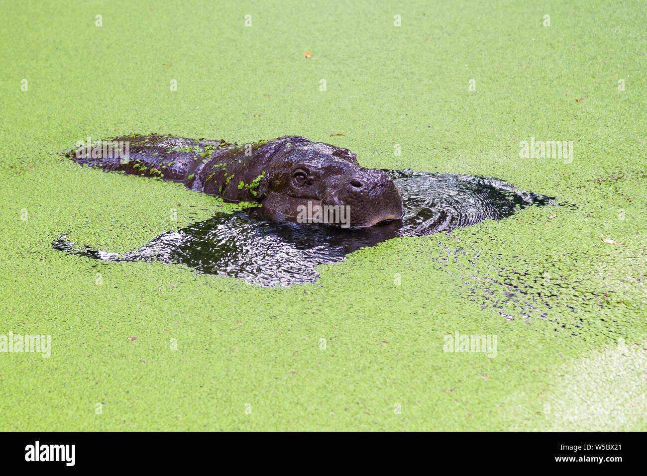 Pigmy hippopotamus emerging from water full of eyelashes Stock Photo