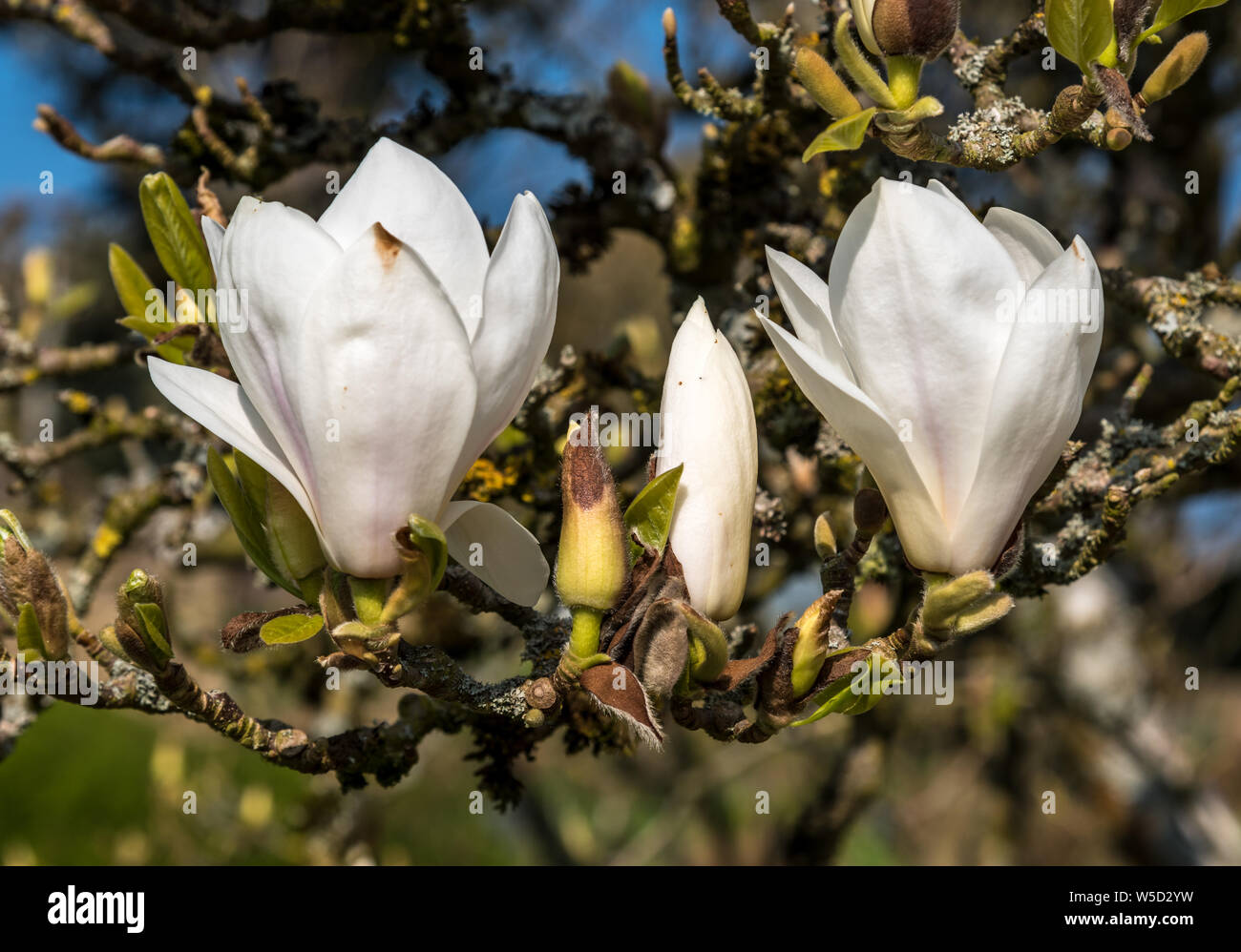 White Magnolia flowers on a sunny early Spring afternoon Stock Photo