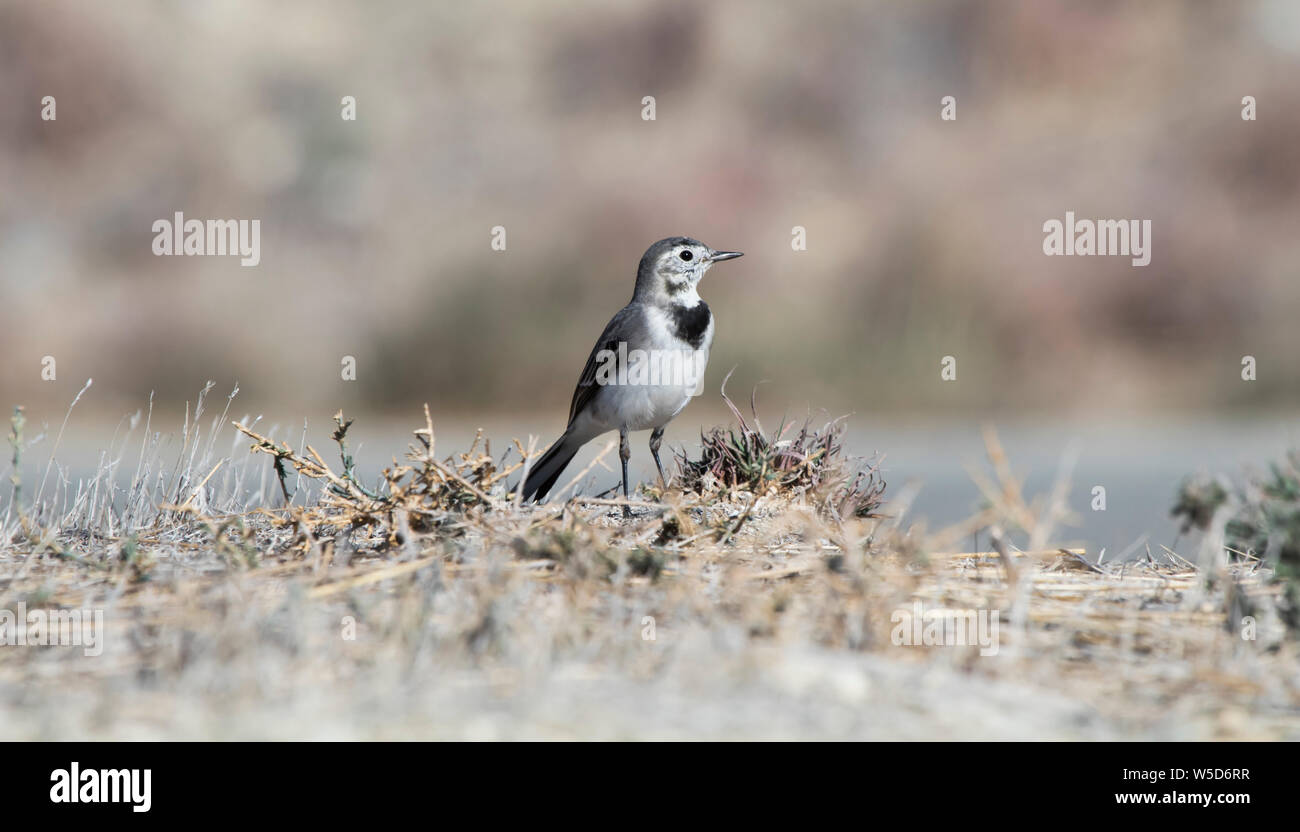 White Wagtail (Motacilla alba) in Cyprus Stock Photo