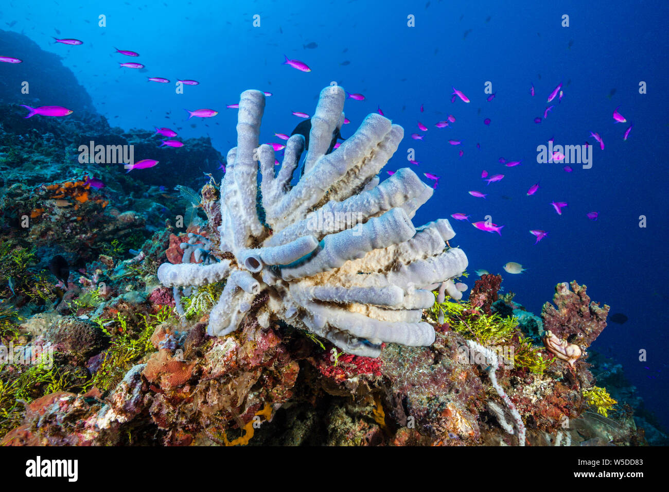 Healty Coral Reef, Kimbe Bay, New Britain, Papua New Guinea Stock Photo