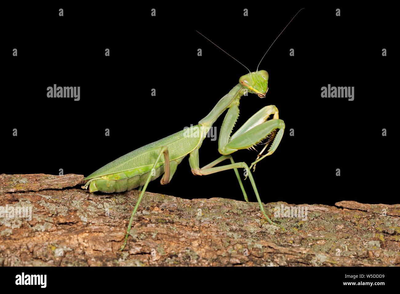 Common green mantis (Sphodromantis gastrica) on a branch, South Africa Stock Photo