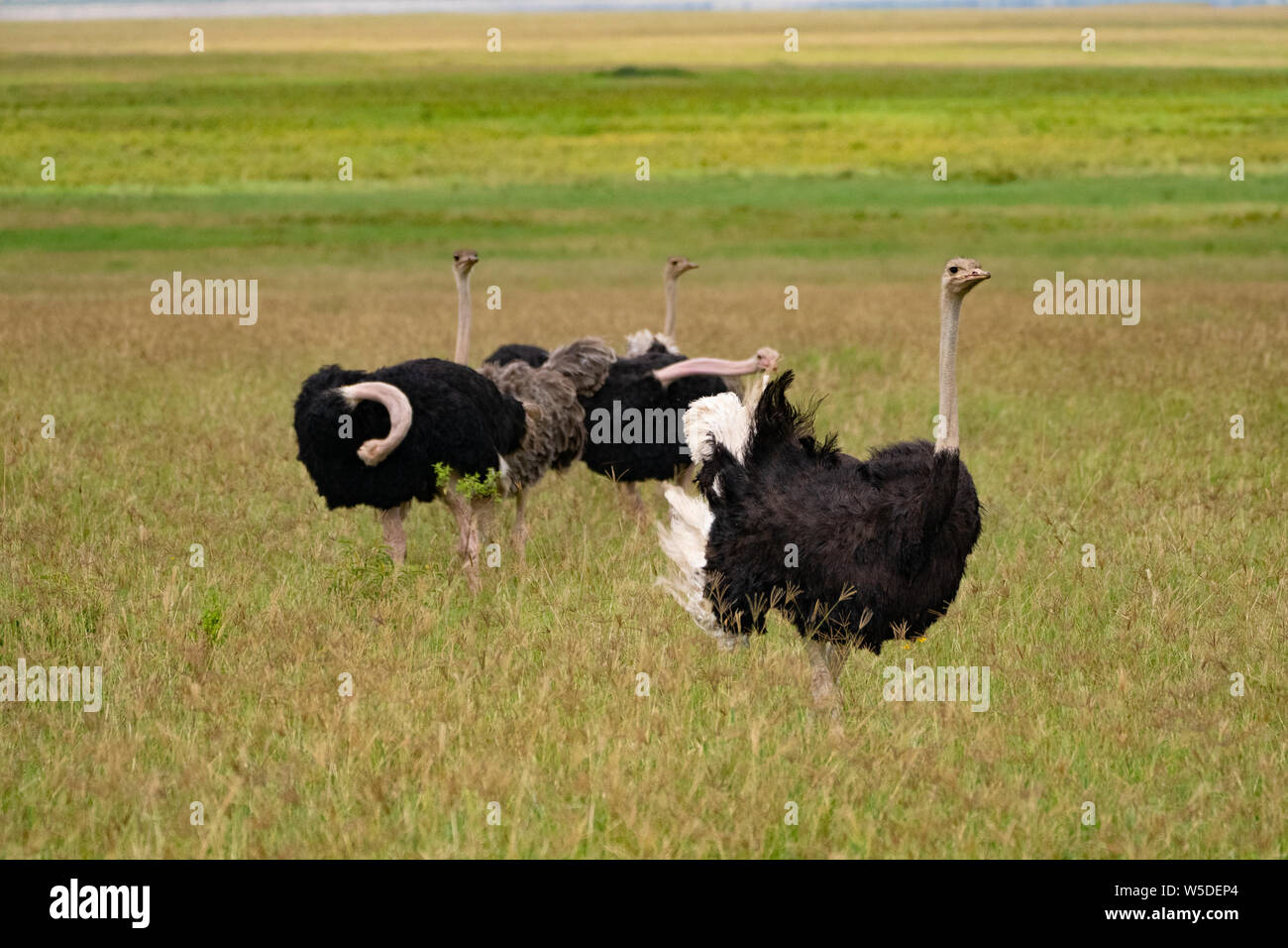 A family of wild ostriches (Struthio camelus). This group consists of females and a male. The ostrich, a flightless bird, is the world's largest and t Stock Photo