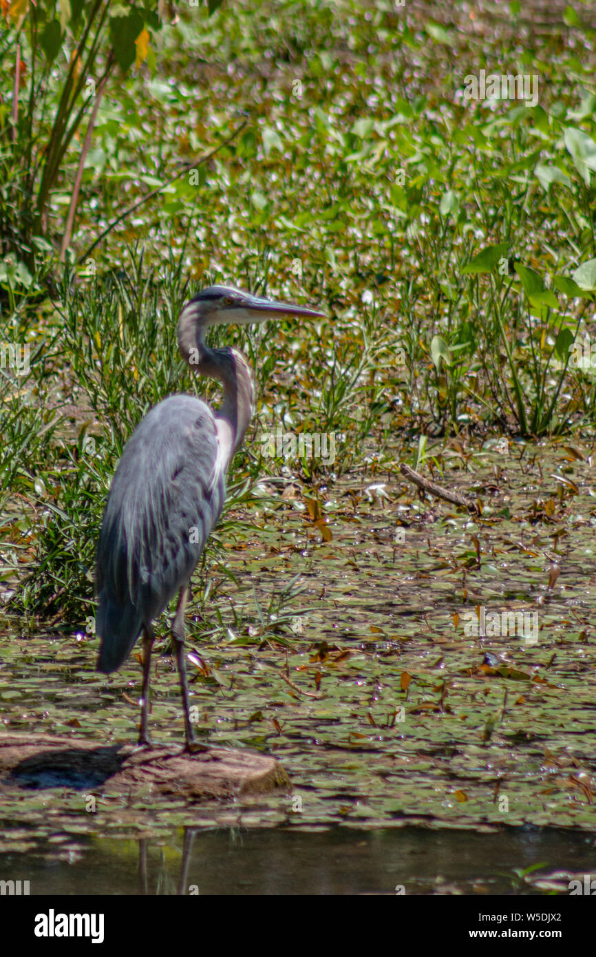 Great blue heron fishing at Springfield Conservation Center in Springfield, Missouri Stock Photo