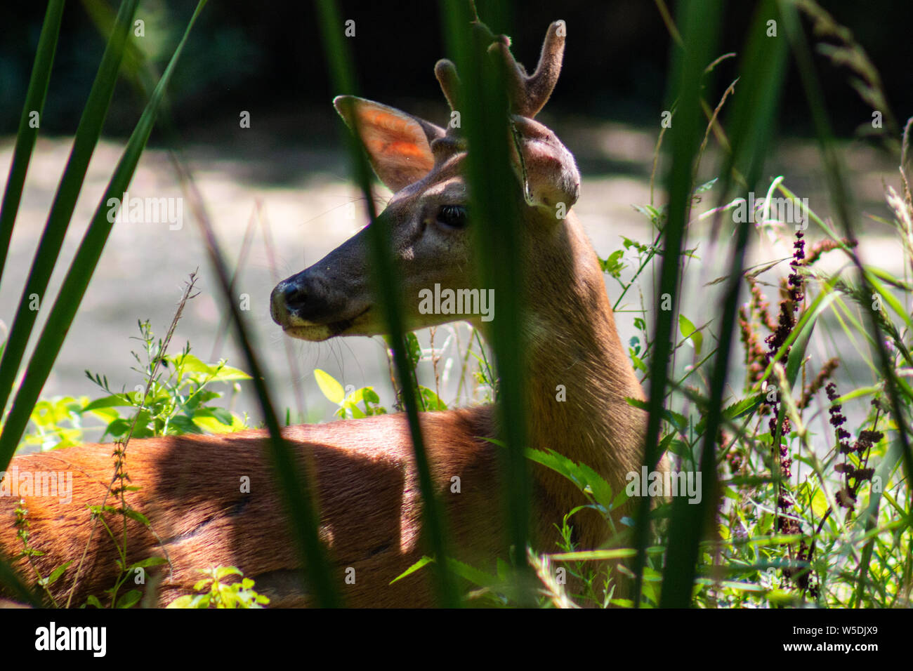 White-tailed deer in grass at Springfield Conservation Center in Springfield, Missouri Stock Photo
