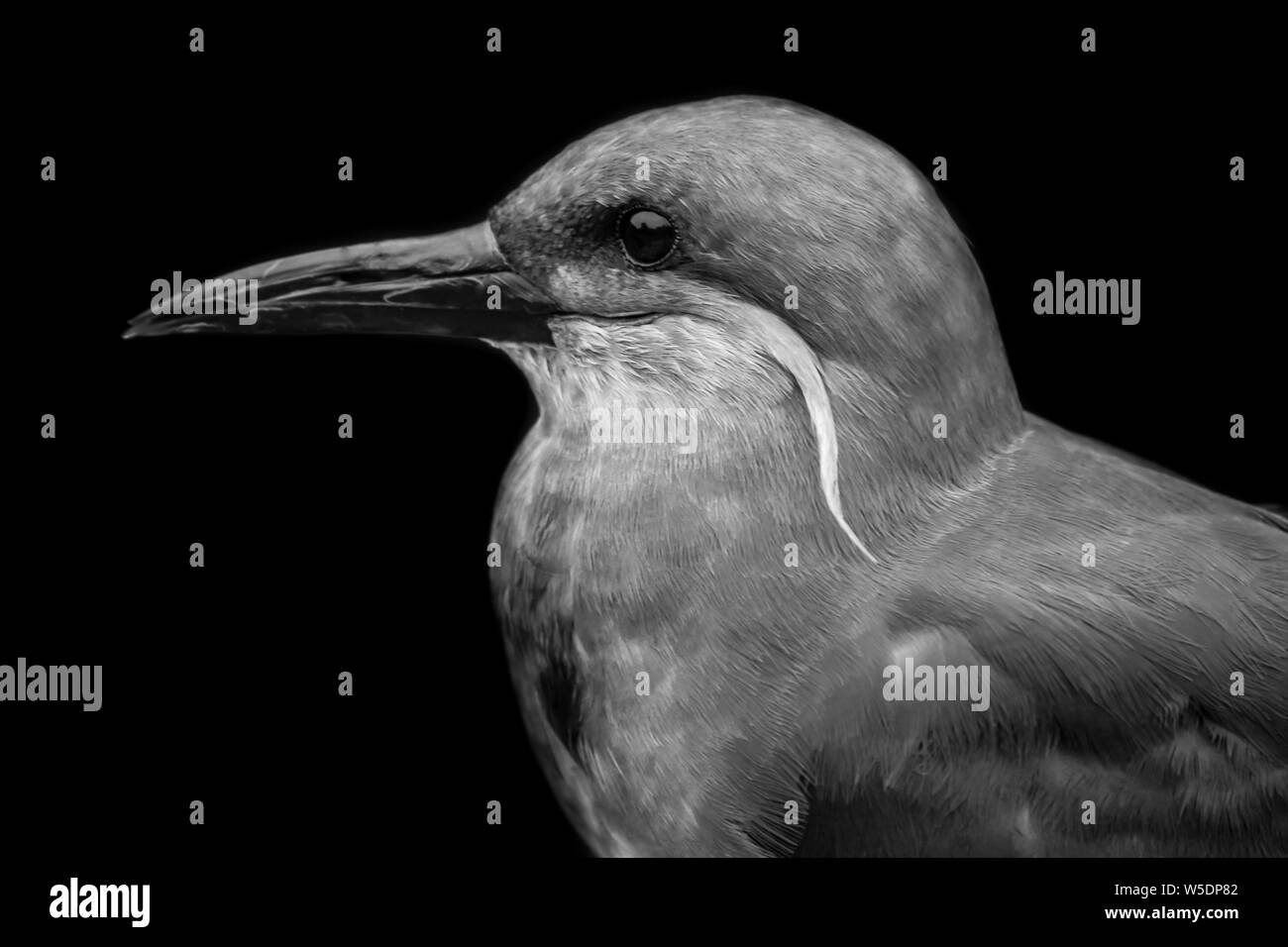Black and white portrait of an Inca tern (Larosterna inca) with black background, full head, lateral Stock Photo