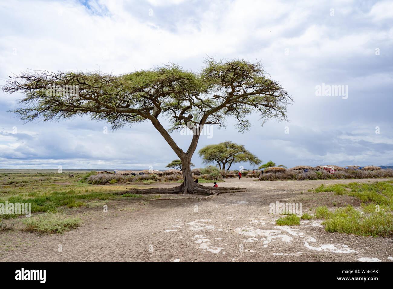 Acacia tree at Serengeti National Park, Tanzania Stock Photo